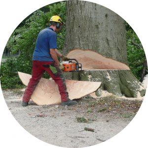 Dikke boom kappen Boomverzorging Konijnenberg