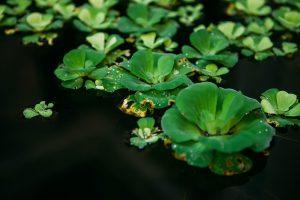 Drijvende planten in vijver